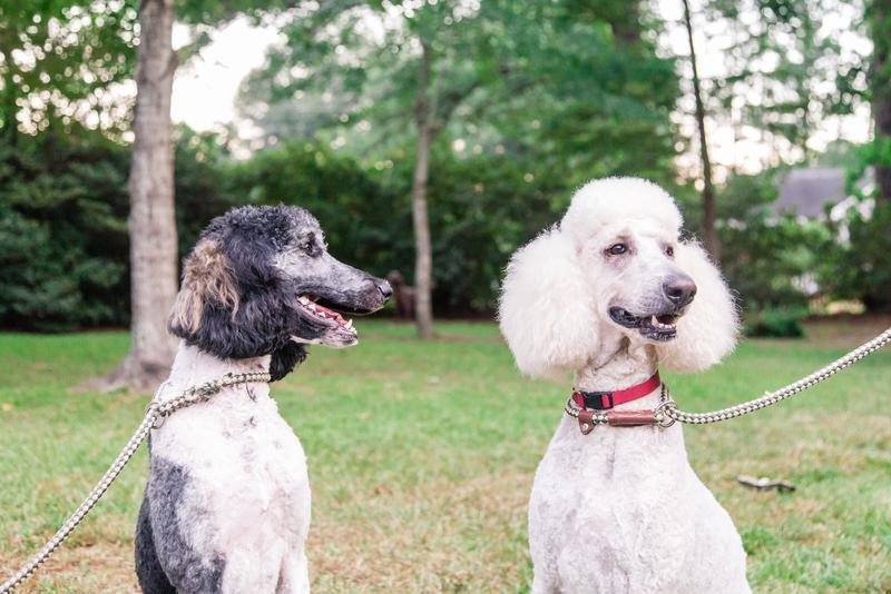 Clarion & Paisley Standard Poodle moms