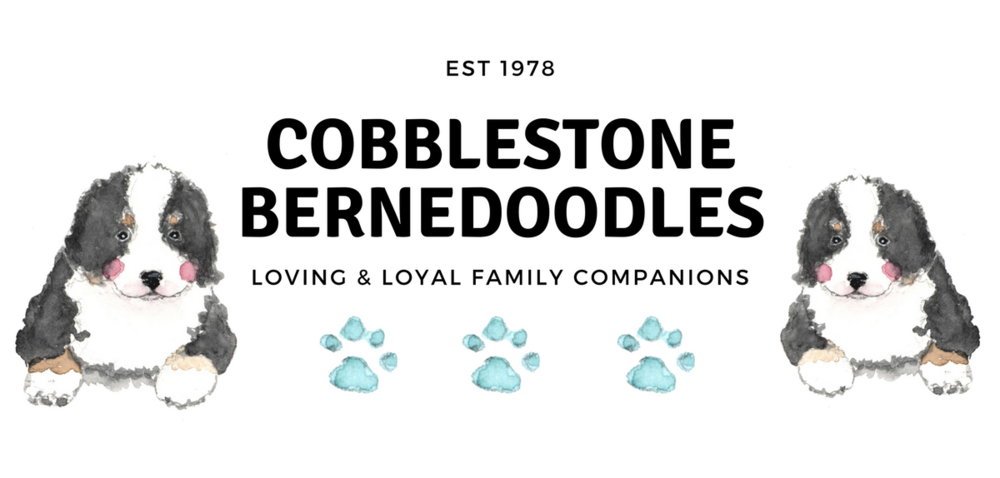 Cobblestone Bernedoodles Puppies