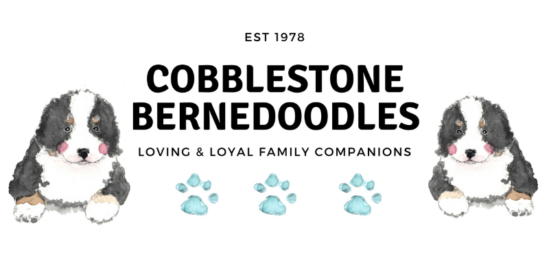 Cobblestone Bernedoodle puppies for sale.