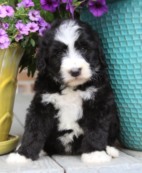 Bi-Color (Black & White) Bernedoodle Puppies $2500