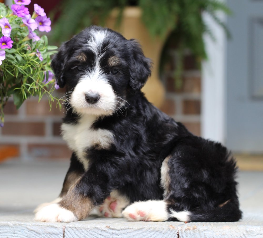 Tri-Color Bernedoodle Puppy