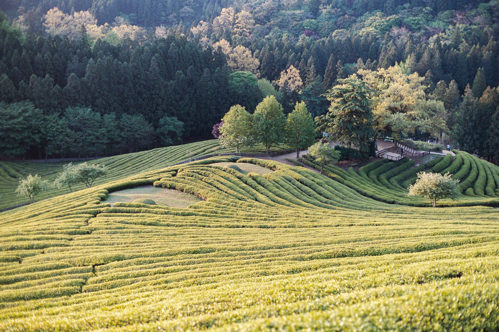 The light was beautiful on this early morning photo shoot, I just love the different colors and patterns that this green tea field had in South Korea.