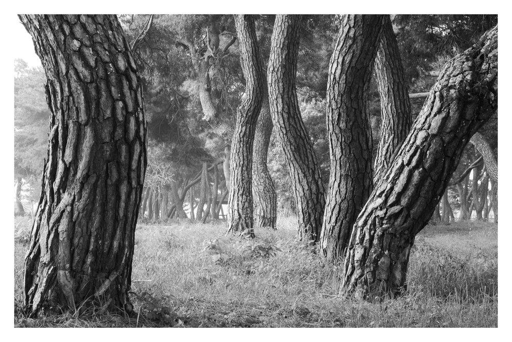 Blackandwhitepinetrees.jpg