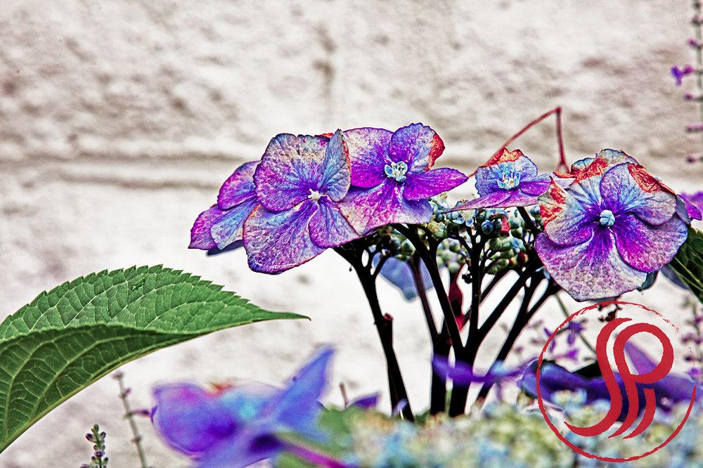 Violet+Hydrangea+Summer.jpg