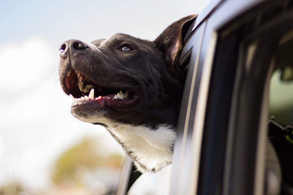 Your dog might like to feel the wind in his fur, but believe me, it's much safer to keep him securely fastened into the car, for him and for you!