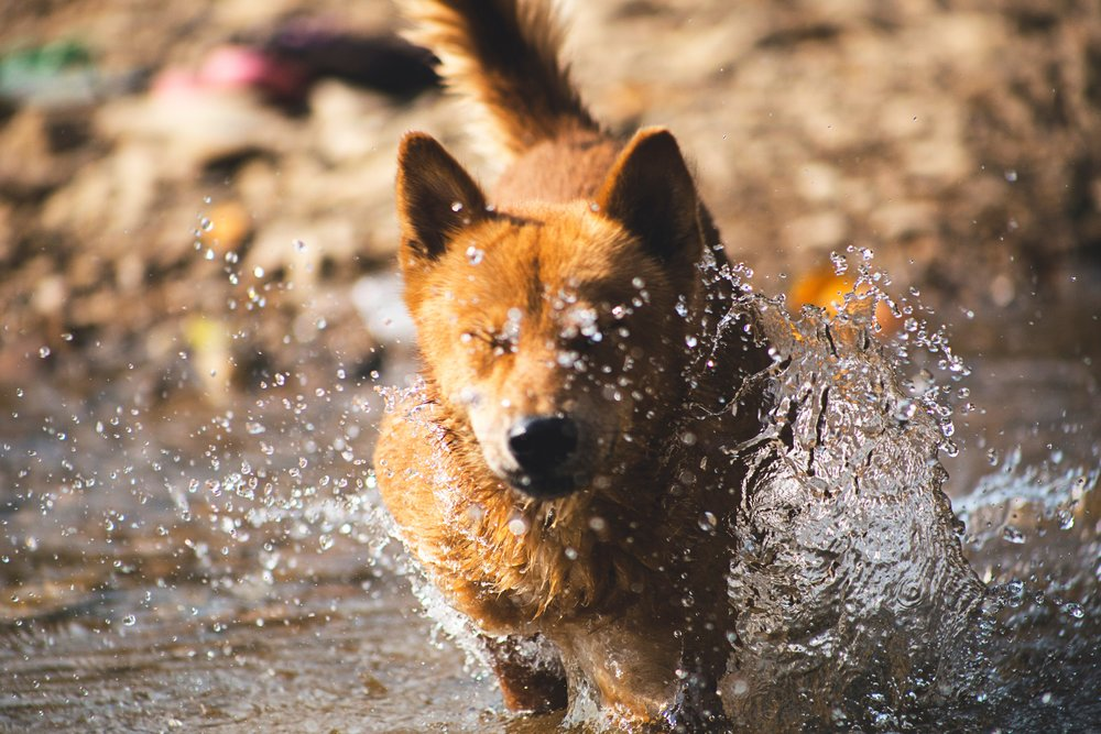 If your dog likes a good splash, make sure to dry them off after. Damp skin increases the risk of skin disease and infection.