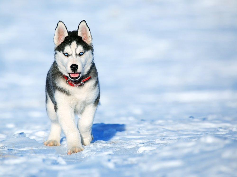 If your dog has furry feet, trim the hair between his pads to prevent ice building up there.