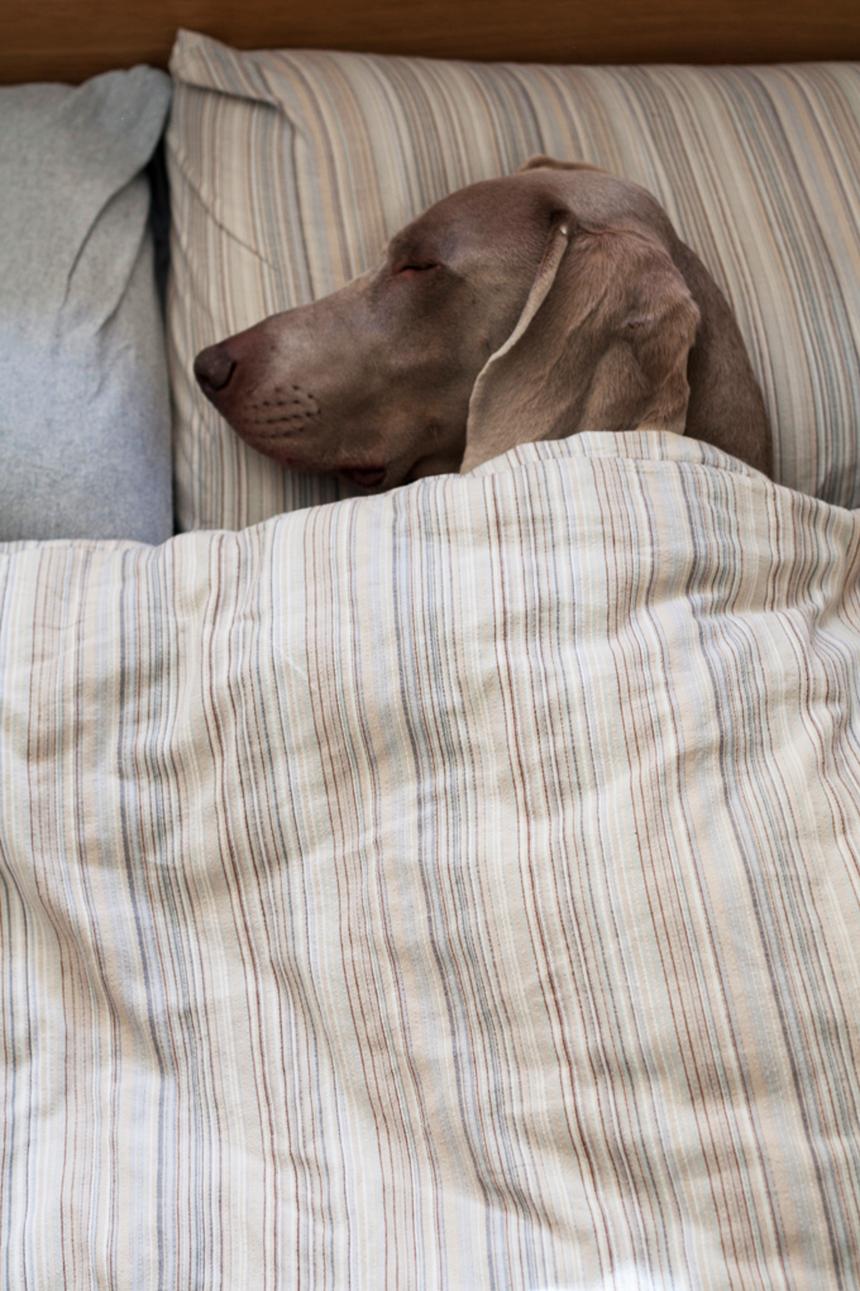 bed-dog.jpg
