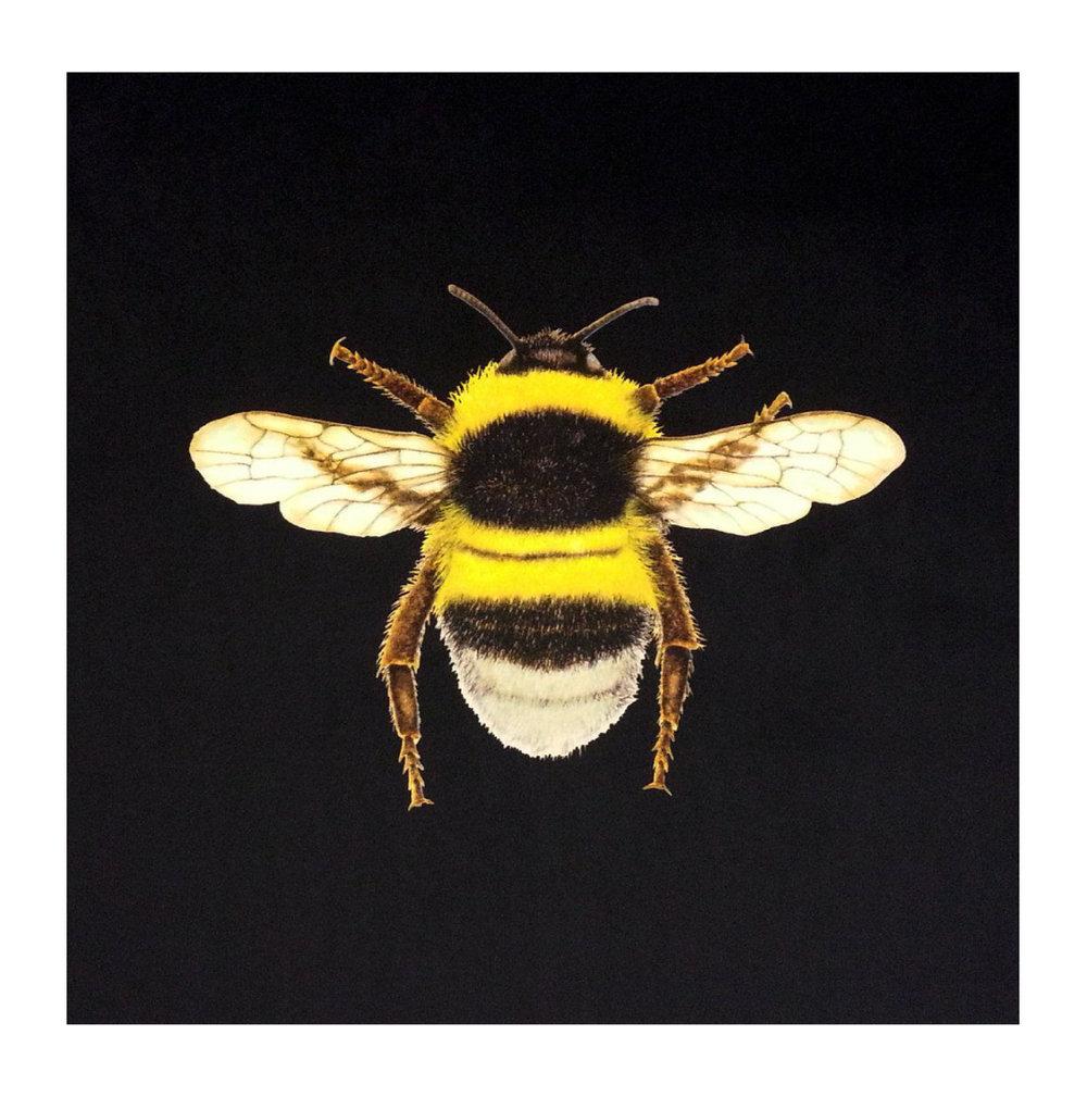 Bumblebee Black - Velvet