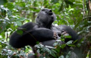 GorillaBeatingChest.jpg