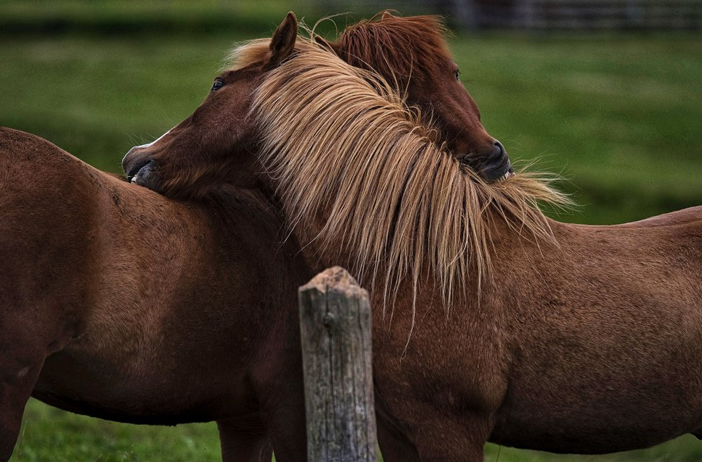 Two Icelandic horses in an apparent embrace.