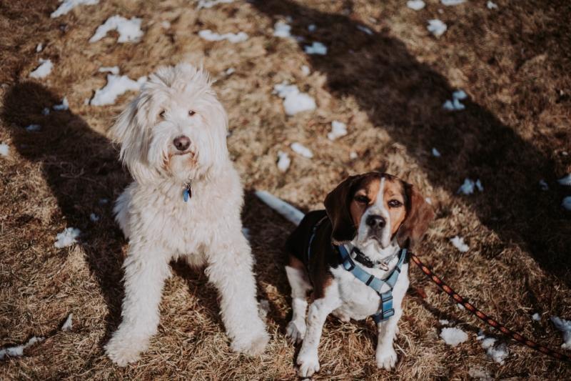 Dog Lover | Beagle | Doodle | Pet Photography | Pets | Dellany Elizabeth | www.dellanyelizabeth.com
