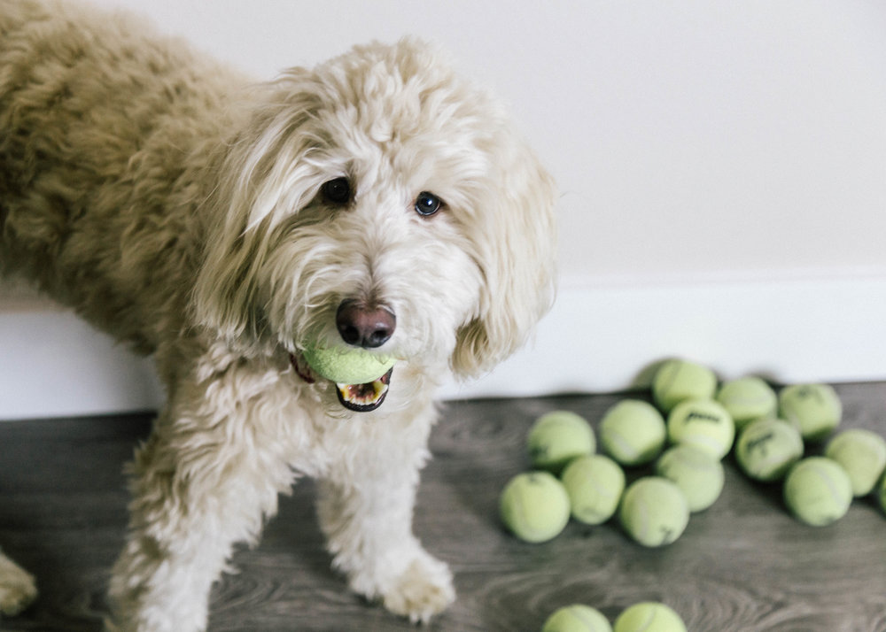 Dog Lover | Utah Dog | Doodle | Pet Photography | Pets | Dellany Elizabeth | Schnoodle www.dellanyelizabeth.com | Dellany Elizabeth | Pet Lifestyle | Dog Cake Smash