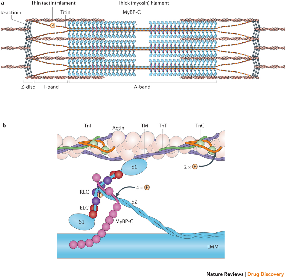 """Why is that muscle so tight?     We often think of neurological reasons (increased facilitation of the agonist, decreased reciprocal inhibition of the antagonist, increase gamma drive, etc), but how about the series elastic element (ie the connective tissue)? Or perhaps the sarcomere (individual contractile unit of the muscle)? How can we fix that? It is easier than you thought!      An oldie but a goodie. A great FREE FULL TEXT paper on sarcomere loss and how to prevent it. Yep, would you have guessed static stretching? Yes, this study was on mice and it seems plausible that it would be applicable to humans as well.   """"When muscle is immobilised in a shortened position there is both a reduction in muscle fibre length due to a loss of serial sarcomeres and a remodelling of the intramuscular connective tissue, leading to increased muscle stiffness. Such changes are likely to produce many of the muscle contractures seen by clinicians, who find that such muscles cannot be passively extended to the full length, which normal joint motion should allow, without the production of muscle pain or injury.     …These experiments show that in addition to preventing the remodelling of the intramuscular connective tissue component daily periods of stretch of ½ h or more also prevent the loss ofserial sarcomeres which occurs in mouse soleus muscles immobilised in the shortened position.""""  http://www.ncbi.nlm.nih.gov/pmc/articles/PMC1004076/pdf/annrheumd00439-0044.pdf     link to full text:  http://www.ncbi.nlm.nih.gov/pmc/articles/PMC1004076/pdf/annrheumd00439-0044.pdf"""