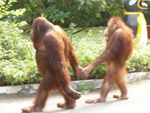 "Gait and Ovulation…A sexier saunter… Welcome to Monday morning folks. Here's something to get you going for the week. Nope, not a post about orangutans, but even BETTER! Remember, you probably saw it here 1st. You always wondered (at least we did) why women walk differently around the time of ovulation (yes, they REALLY do) , and now here's the proof. A recent article in Gait and Posture confirms that women walk slower and with what is judged to be a ""sexier"" gait around ovulation (Go Zsa Zsa Gabor!), which is believed to reinforce their attractiveness and make them more likely to be noticed and attract a partner. We knew there was a reason we liked gait so much….. Ivo and Shawn. Bald. Middle aged…Good looking…The Gait Guys"