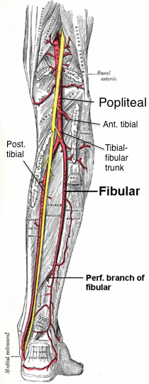 A Little More On The Tibialis Posterior Or Any Tendon For That Matter