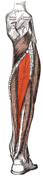 148px-Tibialis_posterior.png