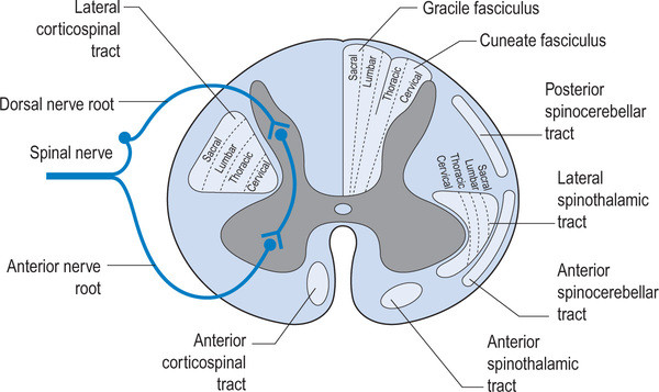image credit: http://realtyconnect.me/spinal-cord-cross-section-tracts/background-information-musculoskeletal-key-within-spinal-cord-cross-section-tracts/