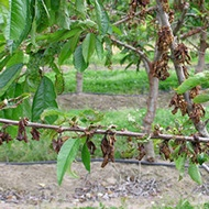 7-Stone Fruit Pest.jpg
