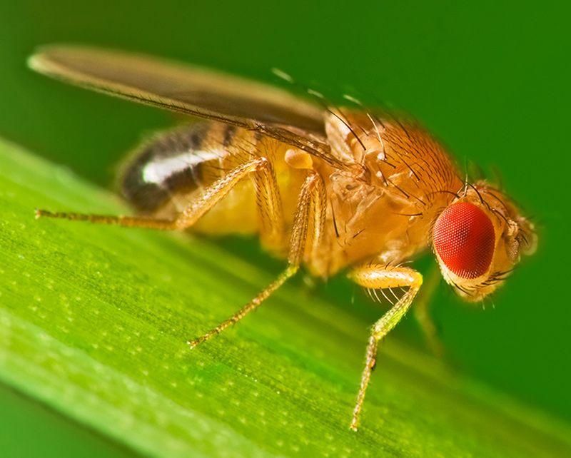 10-fruit fly.jpg