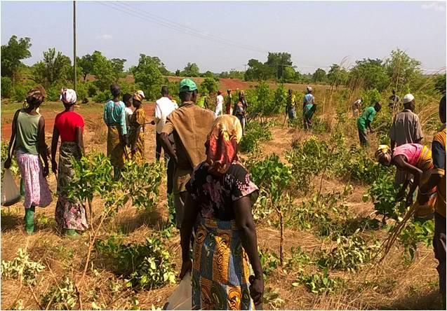 Hands on pruning by farmer volunteers in Ghana.