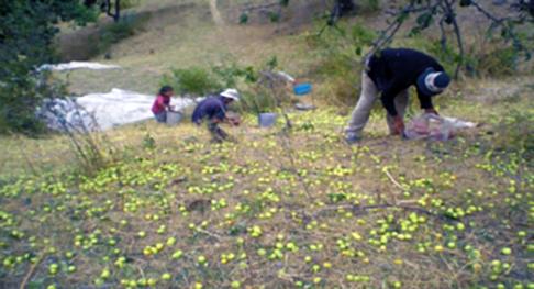 Rasht-Picking-up-apples-from-ground.jpg