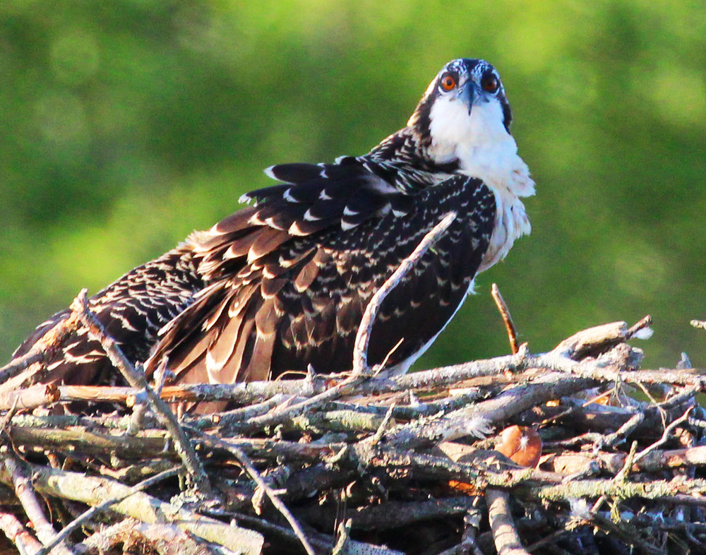 Brown Eyed Osprey Youngster