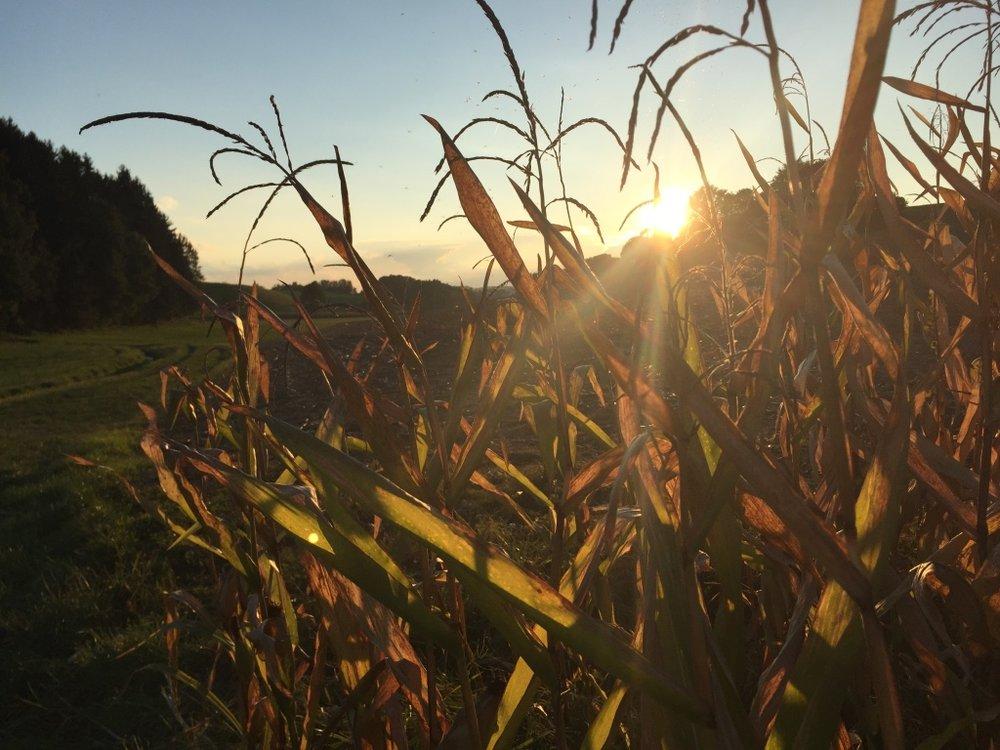 Maisfeld Im Herbst