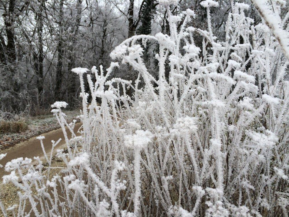 Frostblumen am Weg