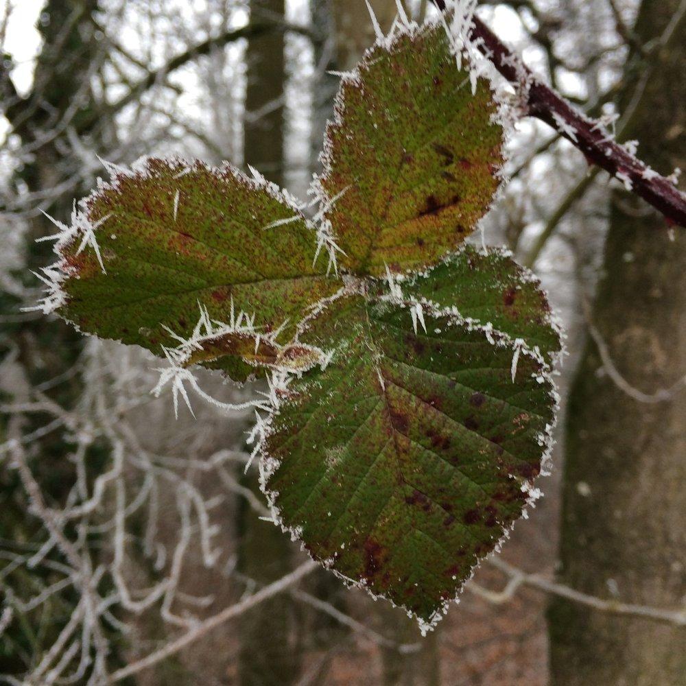Drei Blätter im Frost