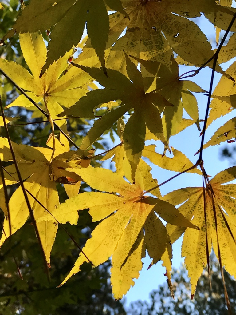 Yellow Maple I