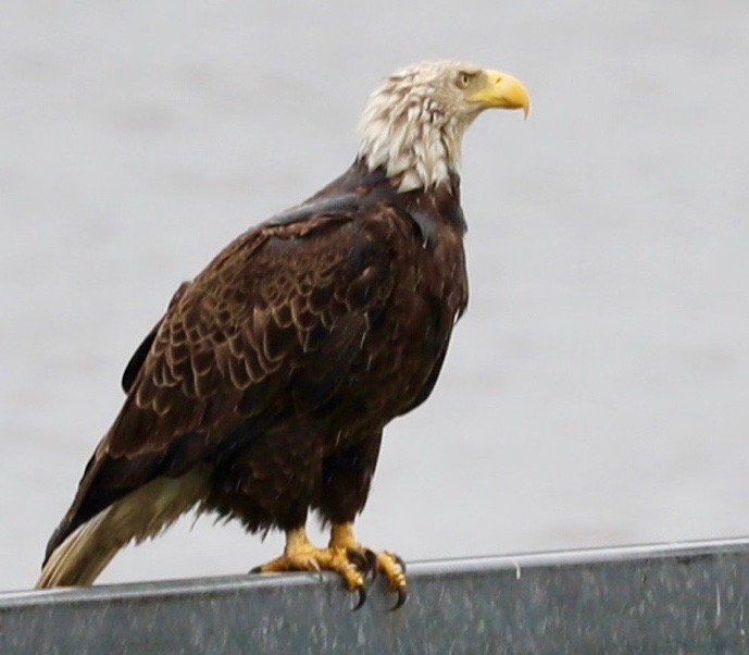 Bald Eagle in the Rain