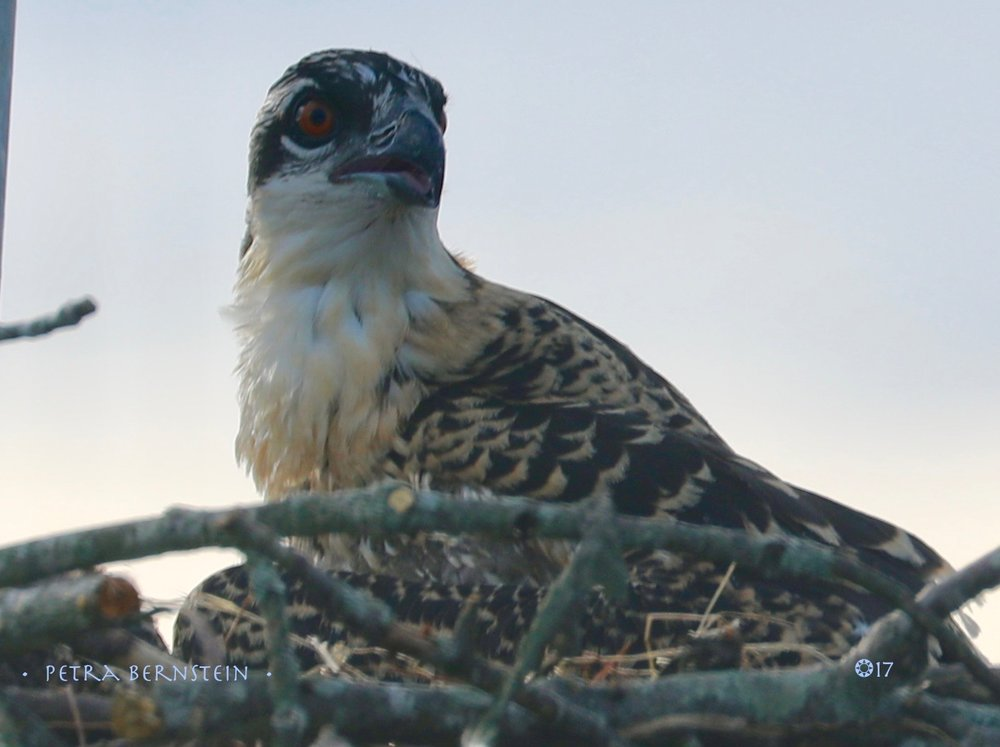 Young Osprey