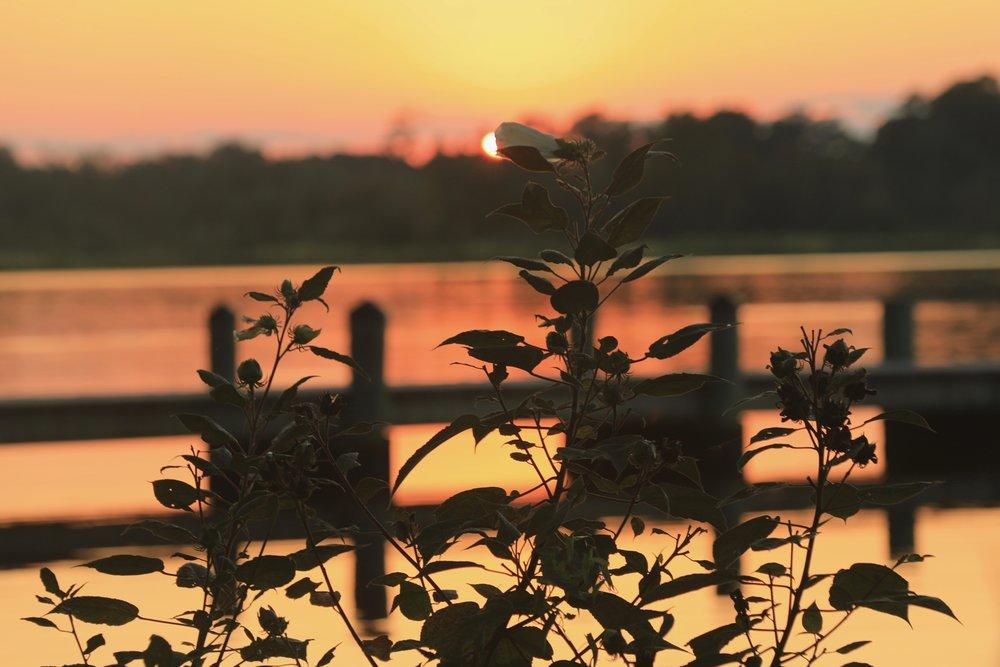 Marsh Mallow at Sunset