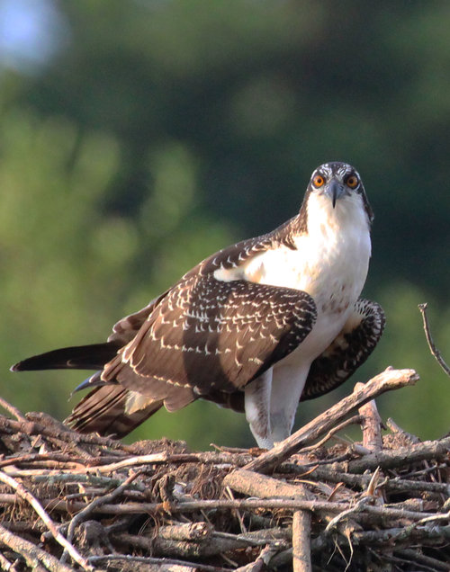 Brown Eyed Osprey No 2