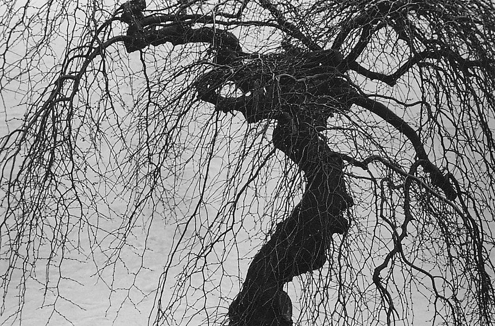 Tiber River Tree