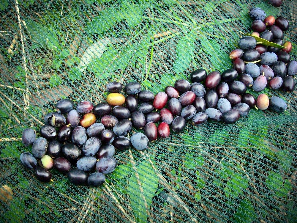Olives_Lebanon_pic_1.jpg