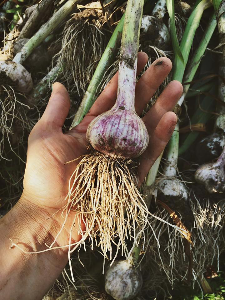 Sinnamahone Garlic