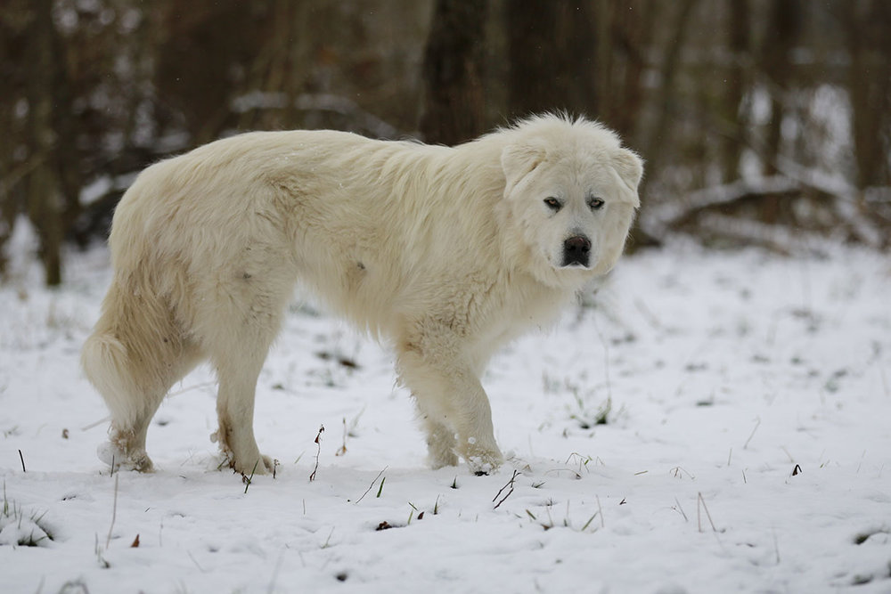 Our male Great Pyrenees Berganza, winter 2016.
