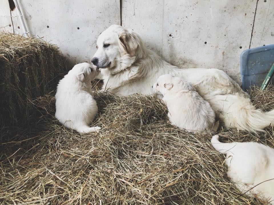 Magnolia with her young pups in the barn, 2017.