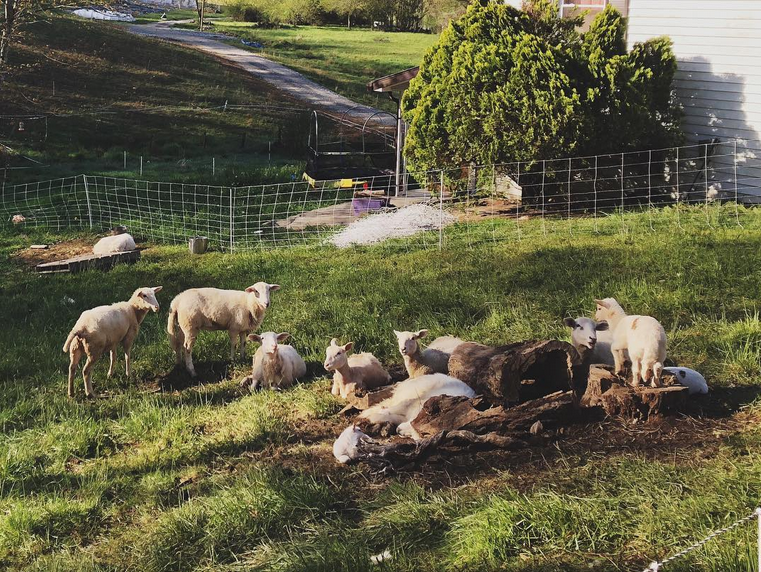 Sheep beginning to wake while the dogs are catching up on sleep after a long night.