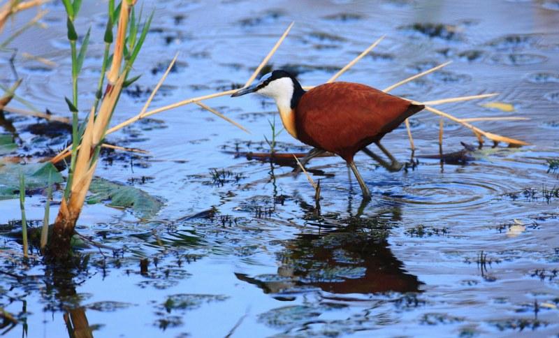 Oiseau dans l'eau Motswari