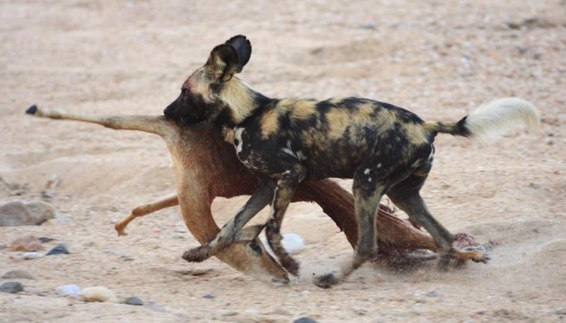 Chien sauvage et sa proie Motswari