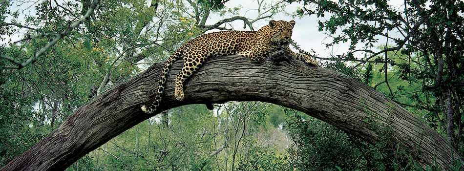 Léopard dans l'arbre Londolozi