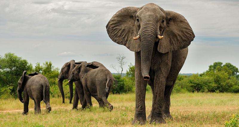 Famille d'éléphants Elephant Plains