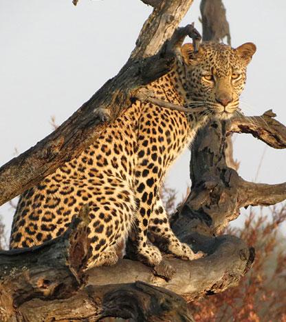Safaris à pied ambiance Jurassique Parc - Léopard à Marataba