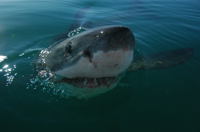 Requin blanc Grootbos