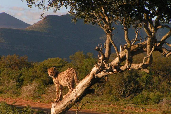 Lionne dans arbre Réserve Privée de Samara