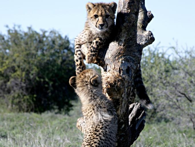 Guépard dans arbre Réserve Privée de Samara