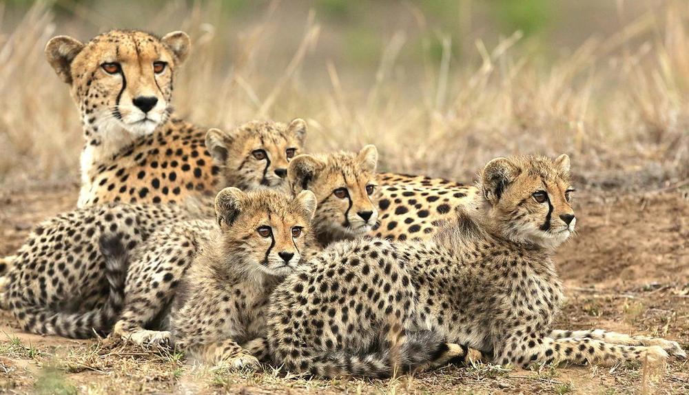 Famille de guépards dans le bush Réserve Privée de Phinda